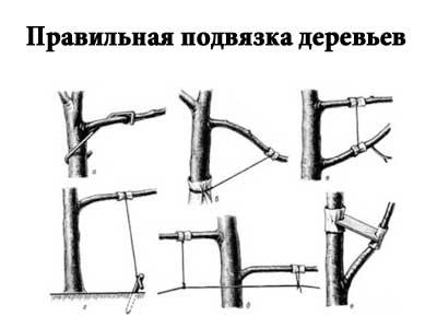Как правильно подвязывать ветки плодовых деревьев
