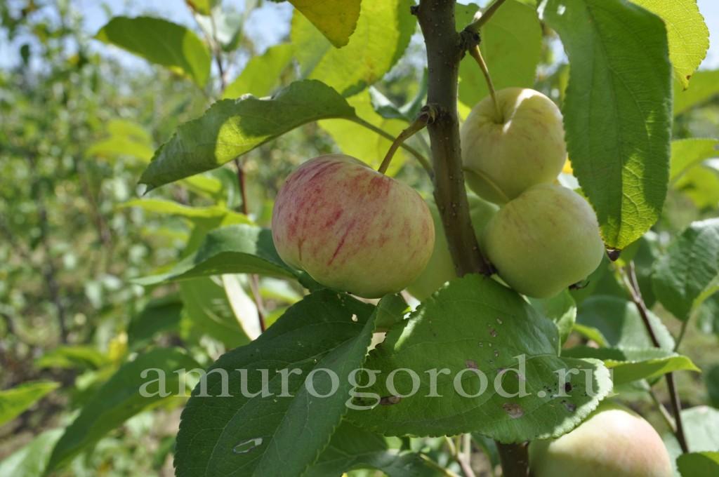 Посадка яблони весной дальний восток