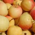 Выращивание плодовых и ягодных культур в Амурской области
