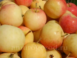 яблоки урожай