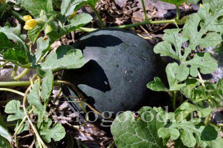 выращивание арбузов в Сибири Урале Дальнем Востоке