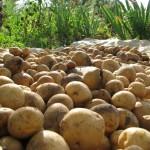 Как хранить картофель зимой (при какой температуре)