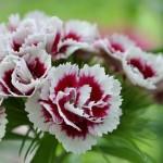 Выращивание цветка Незабудка и цветов Турецкой гвоздики