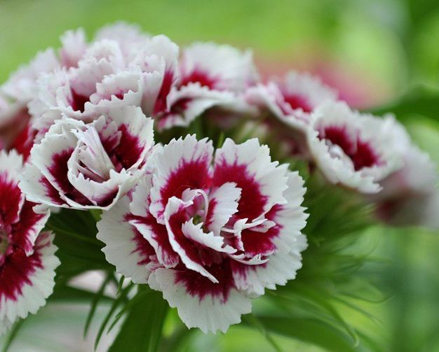 Турецкие гвоздики цветы 54