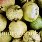Выращивание груши в Сибири и Дальнем Востоке