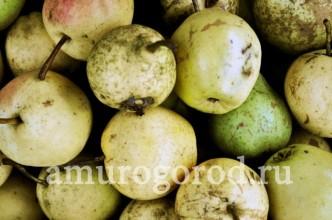 выращивание-груши