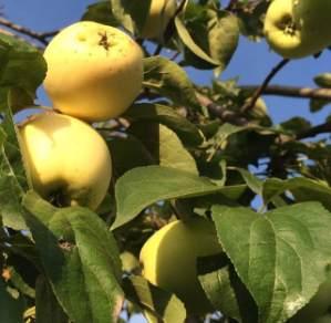 уборка яблони