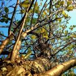 Когда прикапывать деревья осенью
