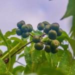 Амурский бархат ягода выращивание