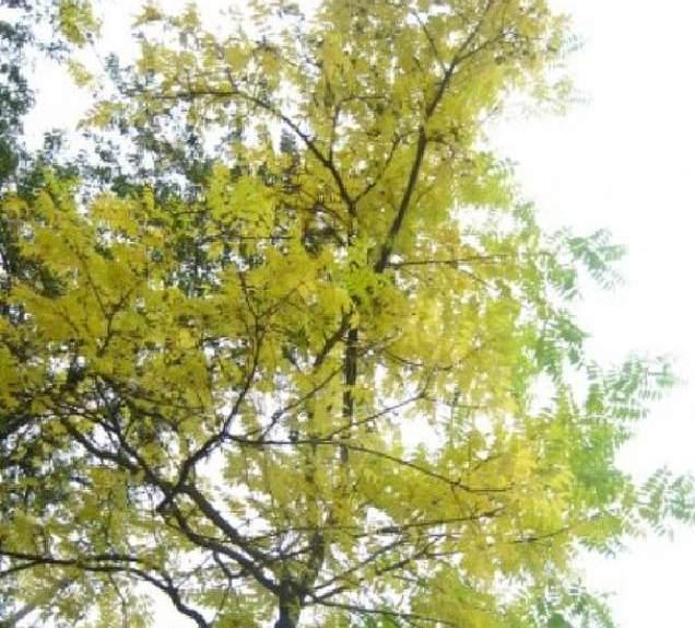 Амурский бархат дерево