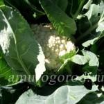 Посадка рассаду капусты в грунт (Дальний Восток)