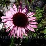 эхиноцея цветок