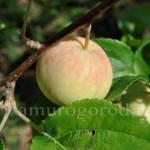 яблоня амурская урожайная