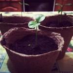 Выращивание семян в торфяных таблетках