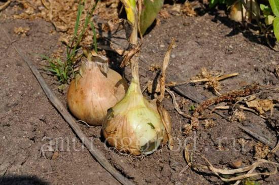 лук-репчатый-выращиывание-в-сибири-урале-и-дальнем-востоке