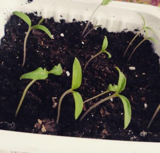 порядок выращивания помидок