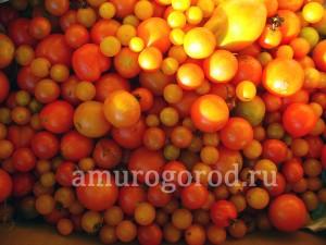 помидор-в-грунт