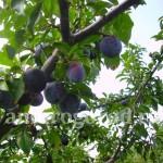 Сорта сливы и вишни для Дальнего Востока