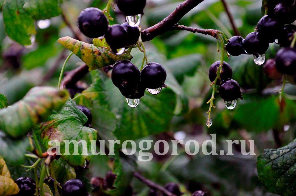 сорт-черной-смородины