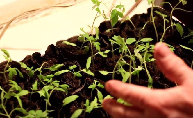 vyrashhivanie-pomidor-video