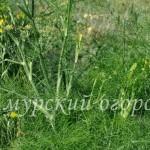 укроп-посадка-и-выращивание