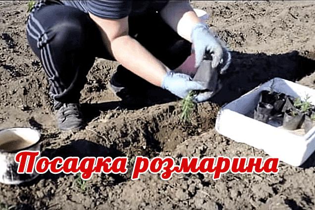 посадка и выращивание розмарина