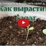 Садим и выращиваем салат дома на подоконнике