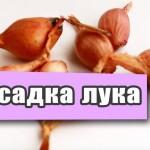 Лук севок — подготовка лука севка к посадке дома