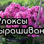 Флоксы многолетние — размножение, выращивание и посадка флоксов многолетних