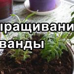 Лаванда — выращивание, посадка, размножение, высадка в грунт лаванды из семян