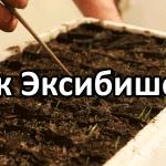 Вырастить лук ЭКСИБИШЕН рассадой