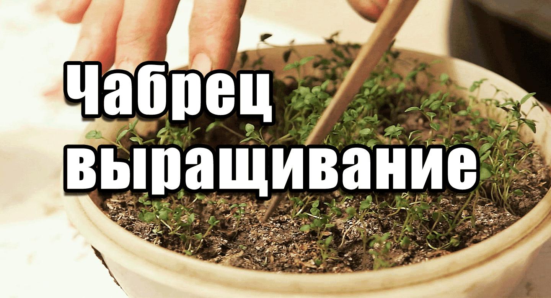 Майоран: выращивание из семян, Советы садоводам