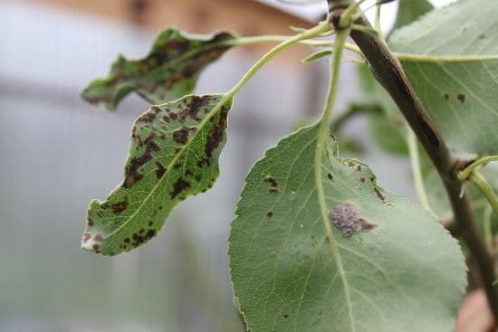 защита плодовых деревьев от вредителей