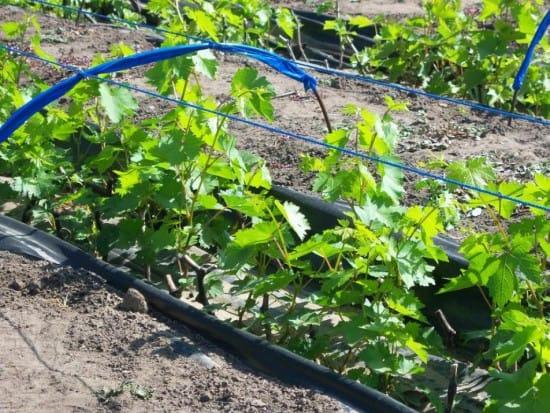 как подвязывать виноград
