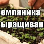 Земляника из семян — вырастить рассадку земляники ремонтантной (Сибирь, Урал и ДВ)