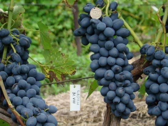 неукрывной виноград