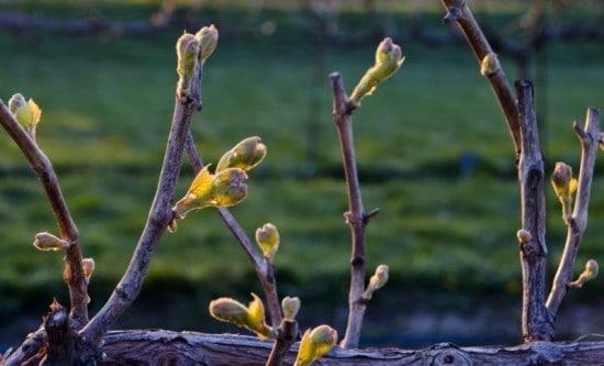сорта винограда неукрывного